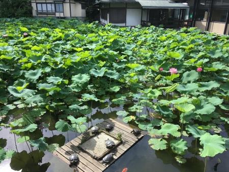 高田本山蓮池