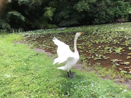下夕田池の白鳥