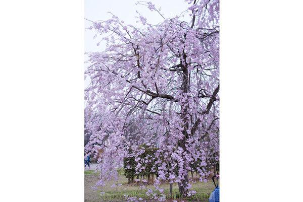 hanamiSanpo2_002.jpg