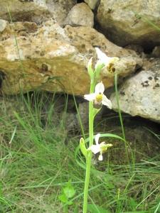 orchidee IMG_2613 (3)