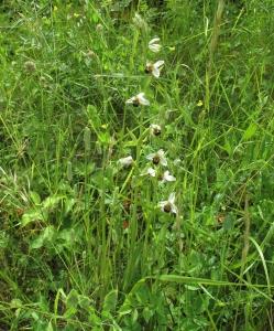 orchidée IMG_2614 (11)