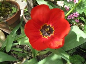 tulipes IMG_2427 (3)