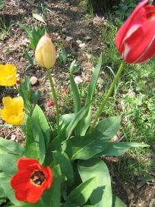 tulipe in my garden 009