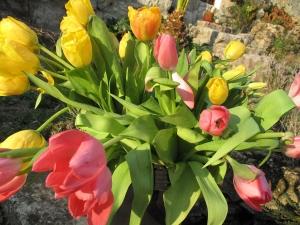 tulipe IMG_3938
