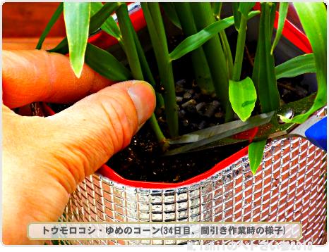 ペトさい(トウモロコシ・改)21