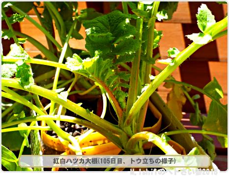 ペトさい(紅白ハツカ大根)42