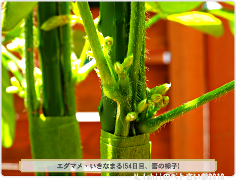 ペトさい(エダマメV)36
