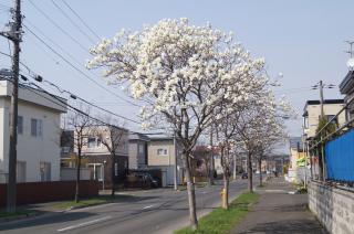 札幌のこぶし
