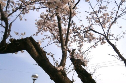 02a 500 20180403 記念碑前の桜満開
