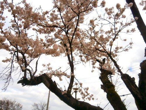 01b 500 20180405 桜before 記念碑