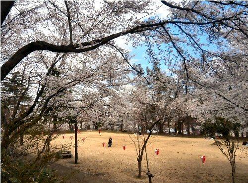 00c 500 20180408 経塚山桜04