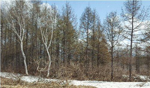 1c 500 20180413 白樺残雪
