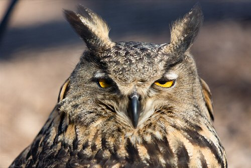 1a 500 eagle owl