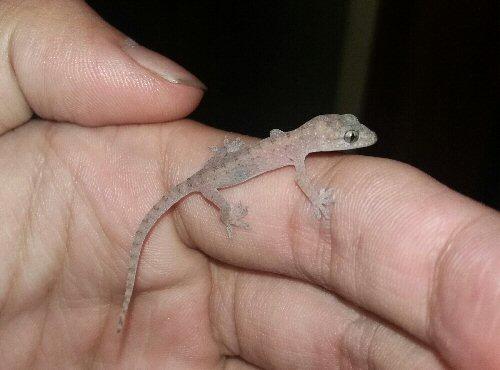 04f 500 house lizard
