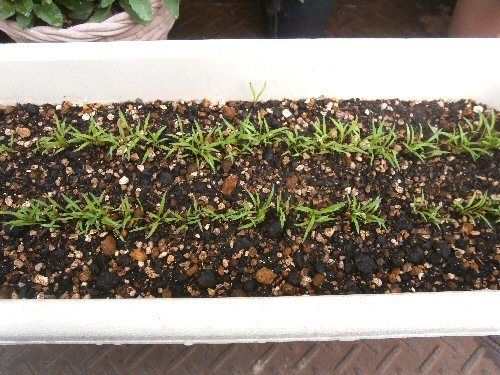 01b 20180504 carrot sprouts