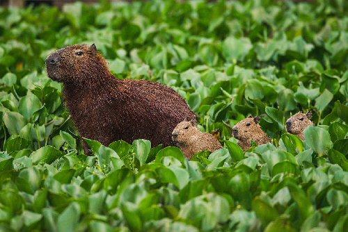 09d 500 capibara babies