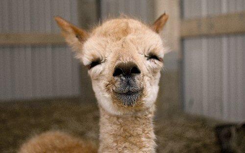 09c 500 baby alpaca
