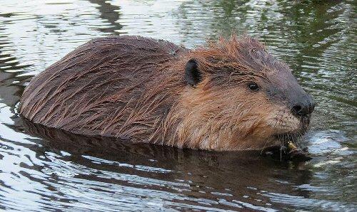 04d 500 beaver 海狸