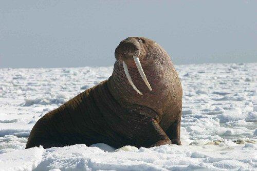 04e 500 walrus セイウチ海馬、海象