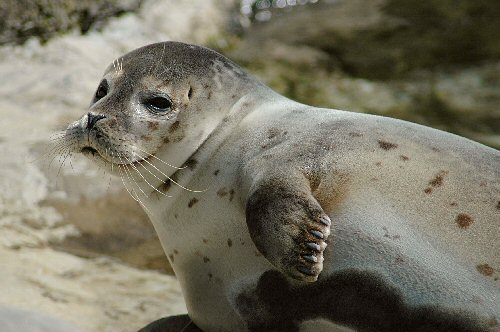 04f 500 earless seal 海豹アザラシ