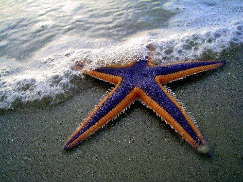 04g 500 starfish 海星