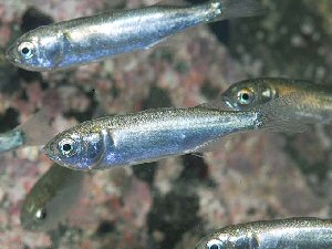 04g 300 スバシリ young striped mullet