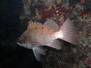 04h 300 メバル rock fish