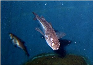 04m 300 ハタハタ sandfish
