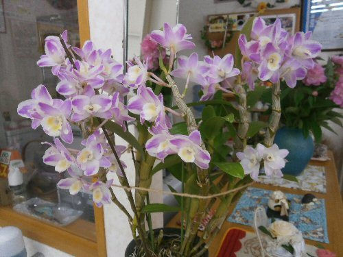 01a 500 20180602 Dendrobium Rock Lily