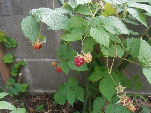 01d 500 raspberry