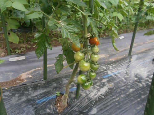 01f 500 cherry-tomatoes