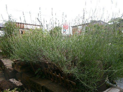 01g 500 lavender