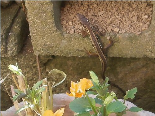 01j 500 20180617 gecko basking in the sun