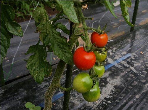 02g 500 20180620 Cherry Tomatos