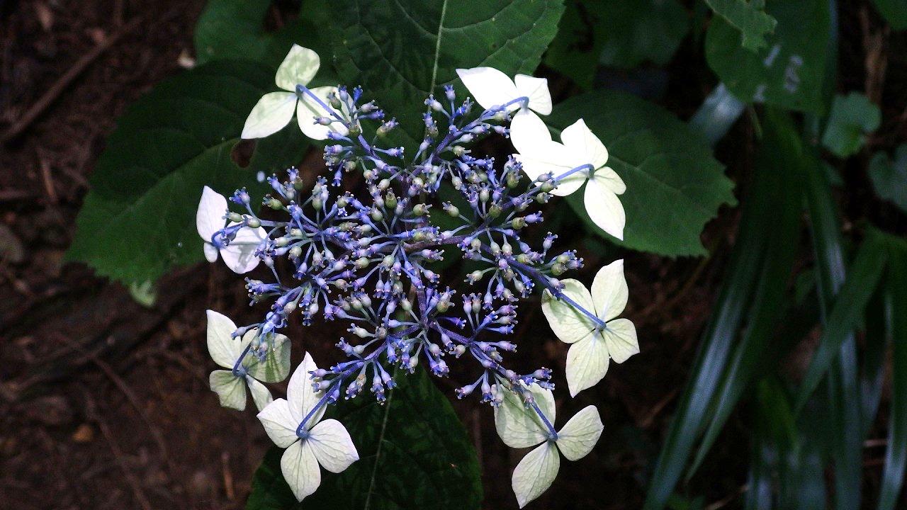 1424額紫陽花