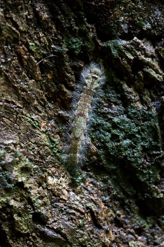 180423イワサキカレハ幼虫
