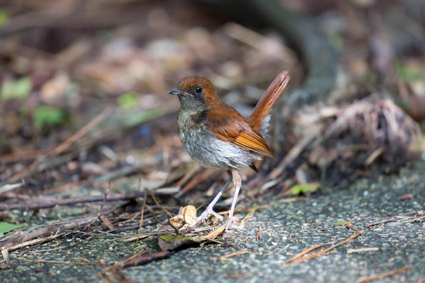 180622ホントウアカヒゲ幼鳥2
