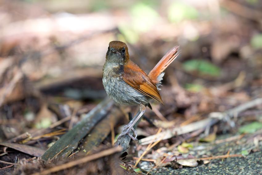 180622ホントウアカヒゲ幼鳥3