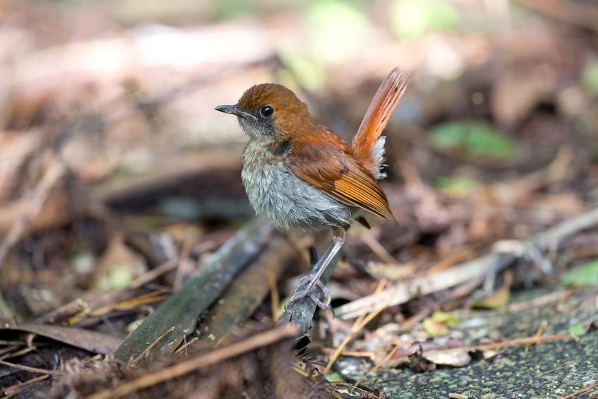 180622ホントウアカヒゲ幼鳥4