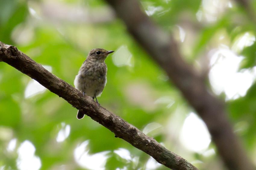 180622リュウキュウキビタキ幼鳥