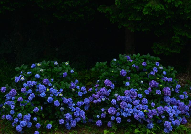 蒼色の紫陽花