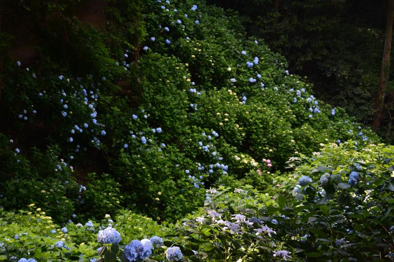 紫陽花園2