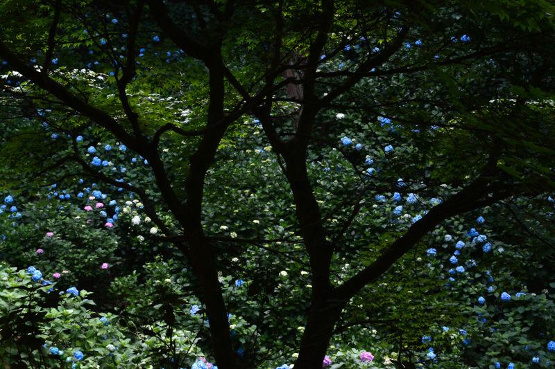 紫陽花園1
