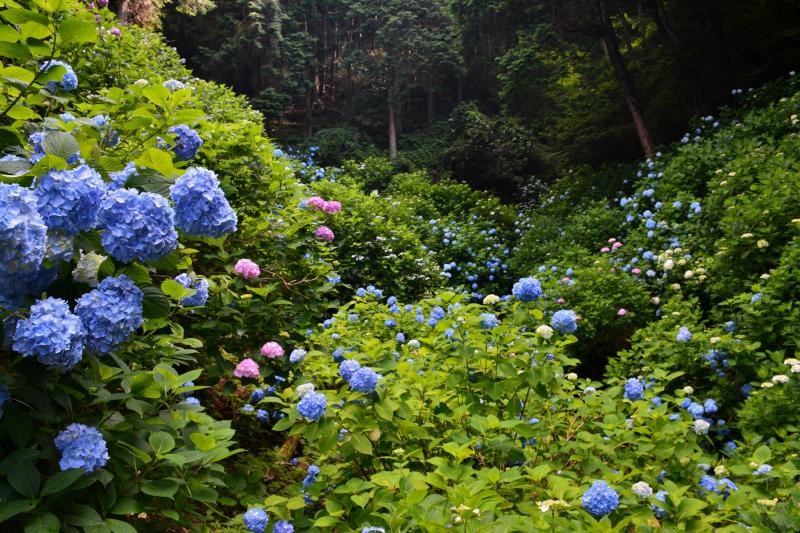 紫陽花園3