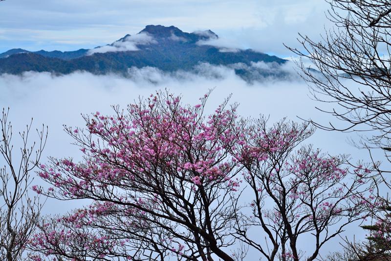 曙ツツジと雲海に浮かぶ石鎚山