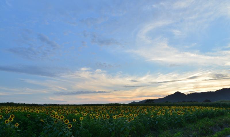 「日暮ひまわりの丘」