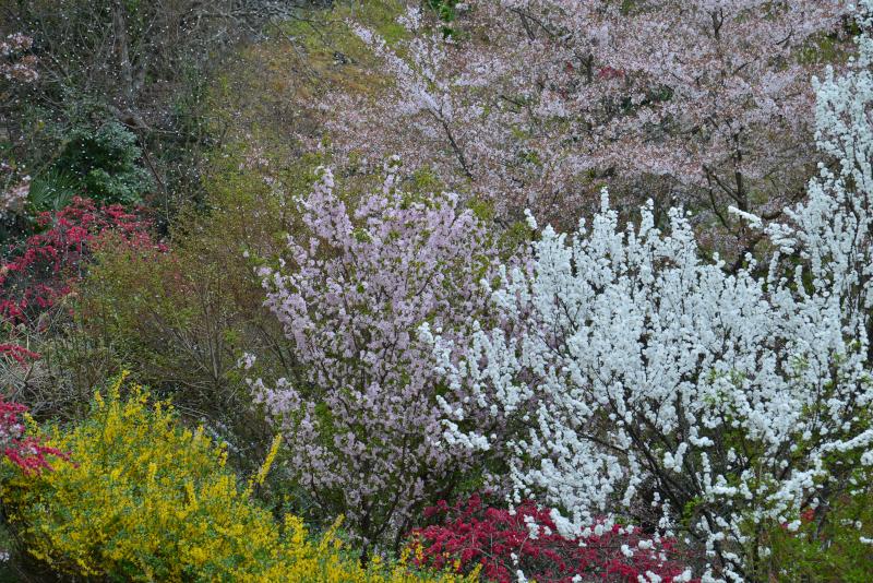 桜散りて花桃咲く