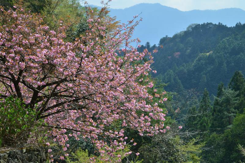 八重桜満開に