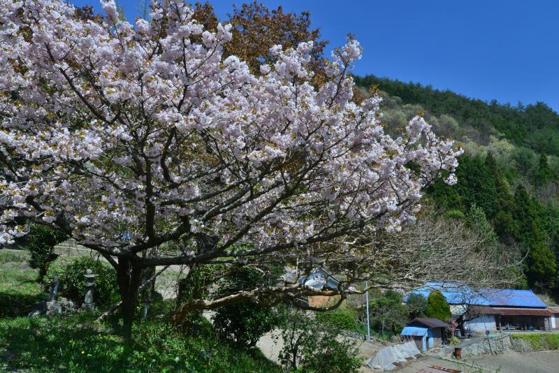 最期の桜2