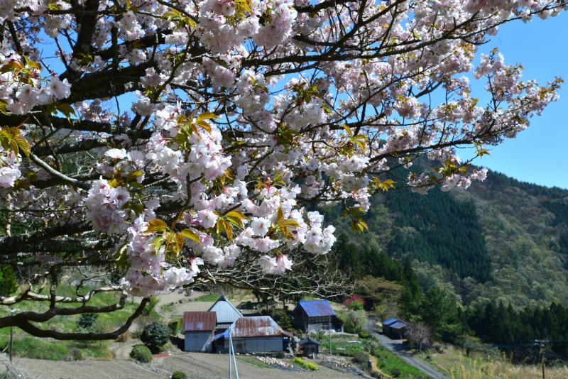 最期の桜3